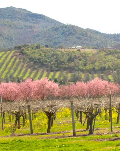 Spring Vineyards